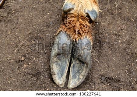 Elk Hoof Print Elk hoof bottom - stock photo