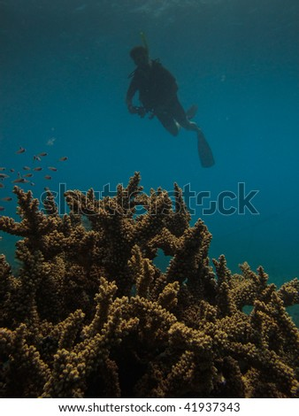 Elk horn coral and scuba diver Great Barrier Reef Australia