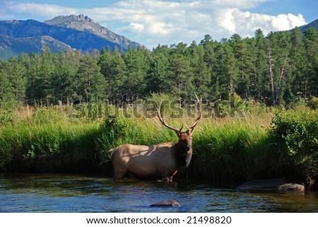 Elk in a Mountain Stream - stock photo