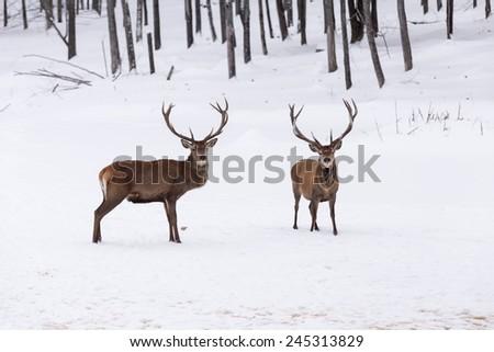 Elk in a winter scene - stock photo