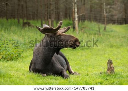 Elk in the woods  - stock photo