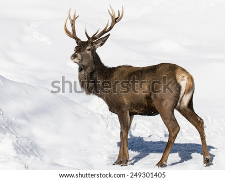 Elk in Winter - stock photo
