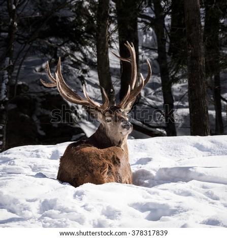 Elk in Winter - stock photo