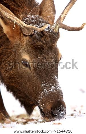 Elk in Winter Canada - stock photo
