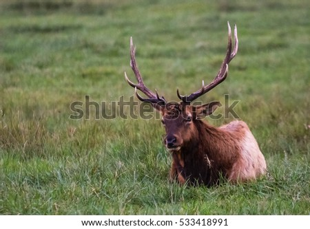 Elk laying in field of grass