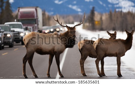 Elk on road - stock photo