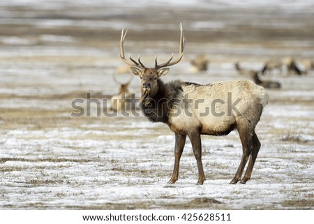 Elk or Wapiti (Cervus canadensis) in the snow, looking at camera, National Elk Refuge, Jackson, Wyoming, USA - stock photo