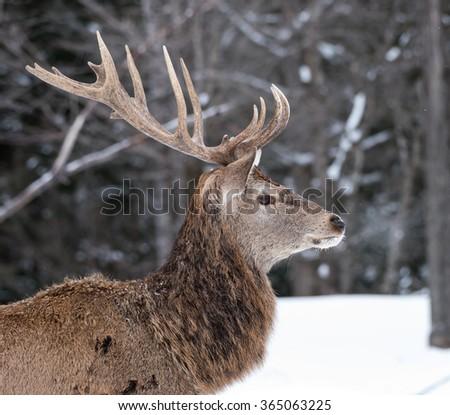 Elk Portrait in Winter - stock photo