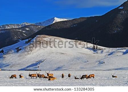 Elk Refuge Jackson Hole WY - stock photo