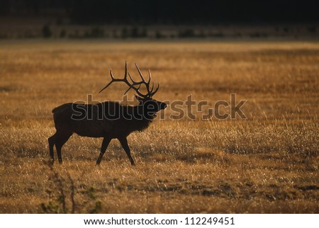 Elk silhouette at sunset