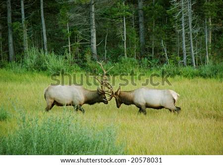 Elk sparring in meadow - stock photo