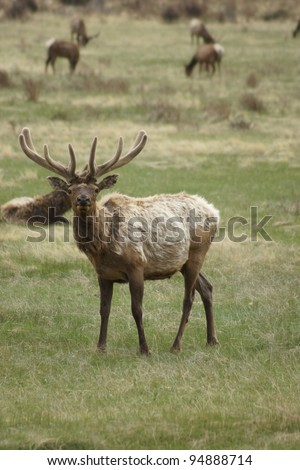 Elk Standing in a field