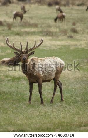 Elk Standing in a field - stock photo