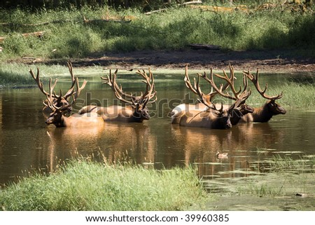 Elk taking a bath in a pond - stock photo