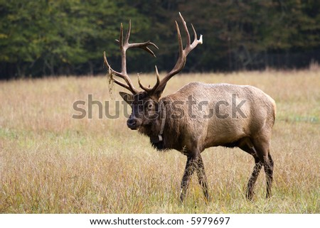 Elk Walking in the Field