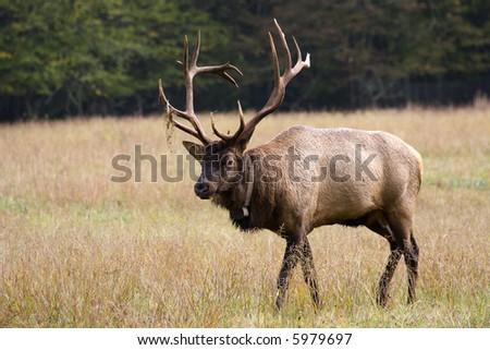 Elk Walking in the Field - stock photo