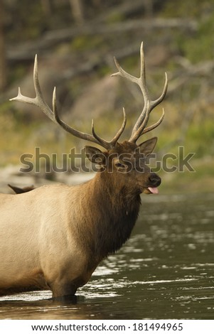 Elk (Wapiti), Cervus elephas, Bull elk in the Madison River, Yellowstone National Park, Wyoming, United States - stock photo