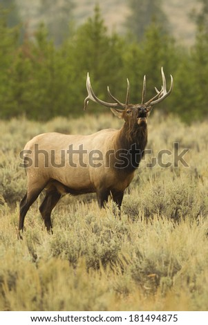 Elk (Wapiti), Cervus elephas, Bull elk in the rut and bugling as it defends its harem along the Madison River, Yellowstone National Park, Wyoming, United States - stock photo