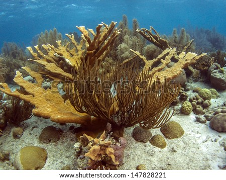 Elkhorn coral (Acropora palmata) is considered to be one of the most important reef-building corals in the Caribbean