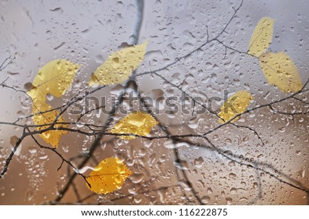 Elm branches with yellow leaves behind a window with rain drops. - stock photo