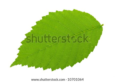 Elm leaf isolated against a white background with a clipping path.