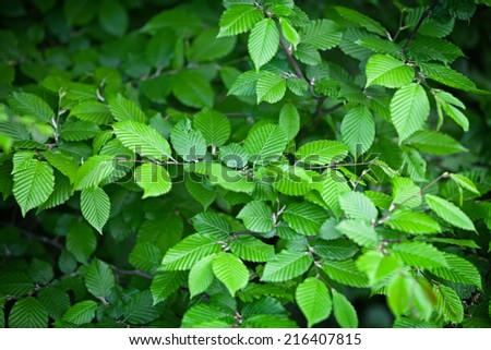 Elm leaves - the natural green background