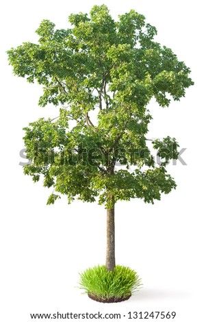 Elm tree. Isolated on a white. - stock photo