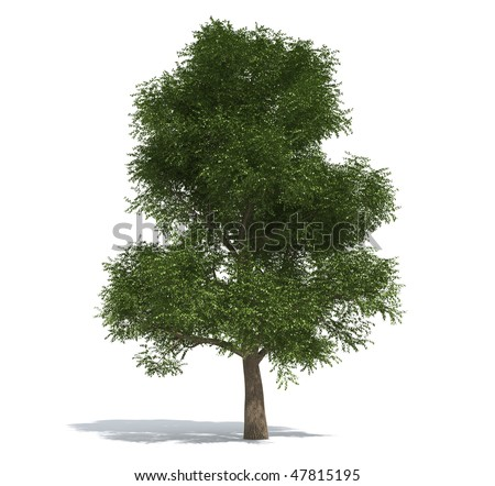 Elm tree isolated on white background