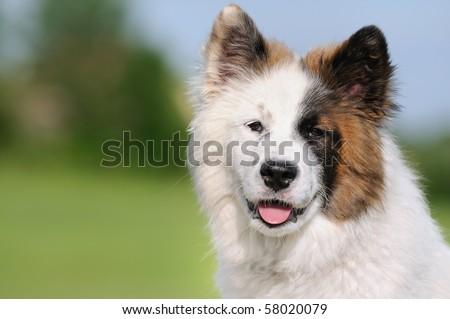 Elo Designer Dog puppy Eloschaboro Bobtail Eurasier Chow-Chow Hybrid - stock photo