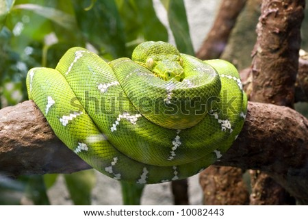 Emerald boa constrictor also known as the green tree boa. - stock photo