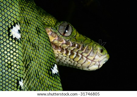 emerald boa in the Bolivian amazon rainforest jungle snake rain forest animal snake amazon green snake and tree snake jungle reptile black background with copy space animal eyes - stock photo