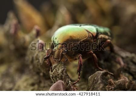emerald cetonia aurata bug on moss, macro - stock photo