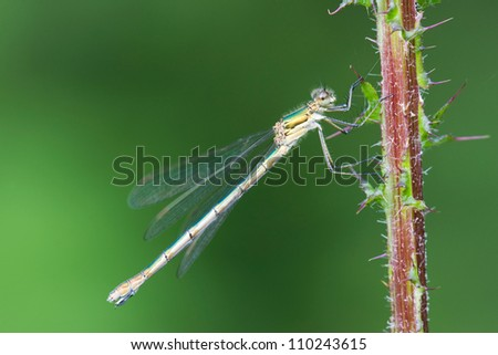 Emerald Damselfly or Common Spreadwing (Lestes sponsa)