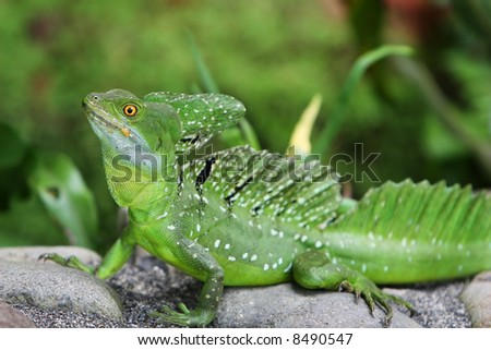 Emerald Double-crested Basilisk in Costa Rica