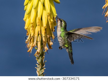 Emerald Green Humming bird Views around Curacao a small Caribbean Island in the ABC islands - stock photo