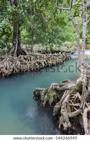 Emerald-green water and tree roots of peat swamp forest of the canal of Tha Pom in Krabi province,Southern Thailand