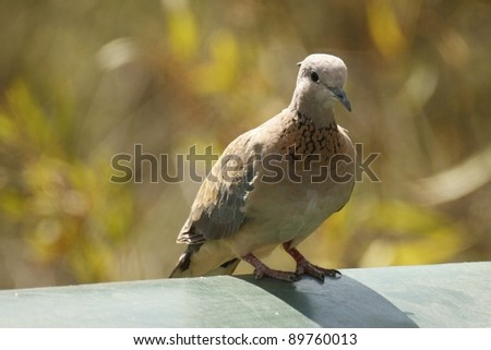 Emerald Spotted Wood Dove - stock photo