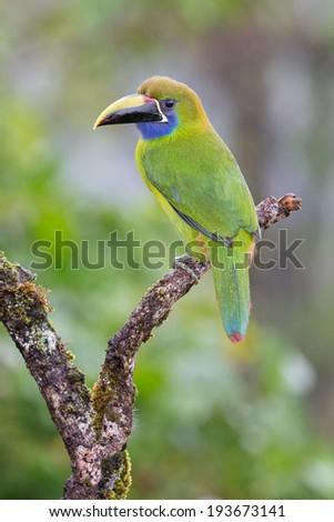 Emerald Toucan on a perch - stock photo