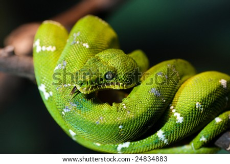 """Emerald Tree Boa. A closeup of a green snake called """"Emerald Tree Boa"""" curled up on a tree branch. Eye is clearly visible. Dark blurry background. Taken in the Woodland Park Zoo, Seattle. - stock photo"""