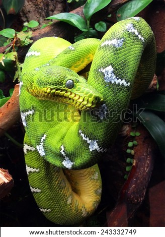 Emerald Tree Boa (Corallus caninus) - stock photo