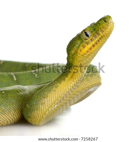 Emerald Tree Boa - Corallus caninus in front of a white background - stock photo