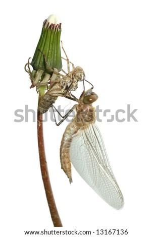 emergence of dragonfly isolated on white background - stock photo