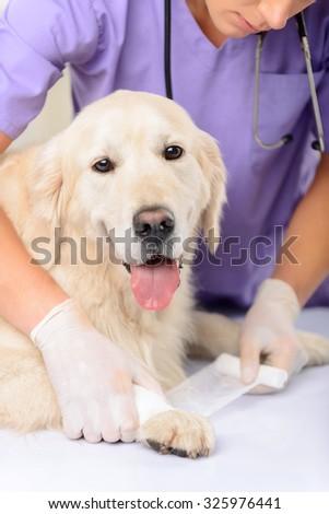 Emergency help. Close up of professional vet examining dog and bandaging the dog while doing his job - stock photo