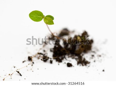 emerging plant - stock photo