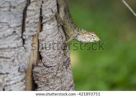 emma gray's forest lizard also know as the forest crested lizard, is an agamid lizard and eat insect for food