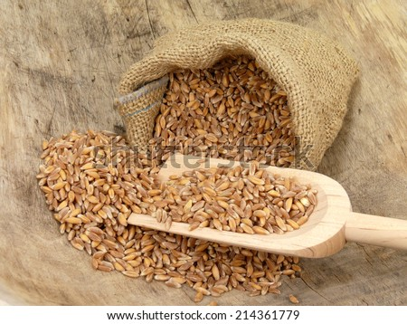 emmer wheat - stock photo