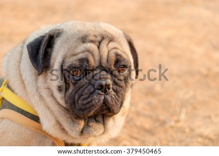 Emotion face of pug dog.