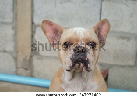 Emotion face of the French Bulldog .