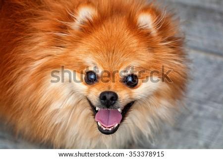 emotional cheerful dog. red Pomeranian - stock photo