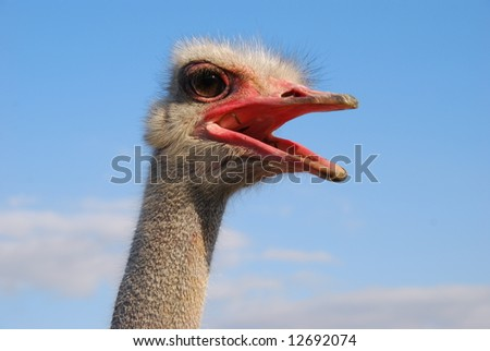Emotions of a funny ostrich close up